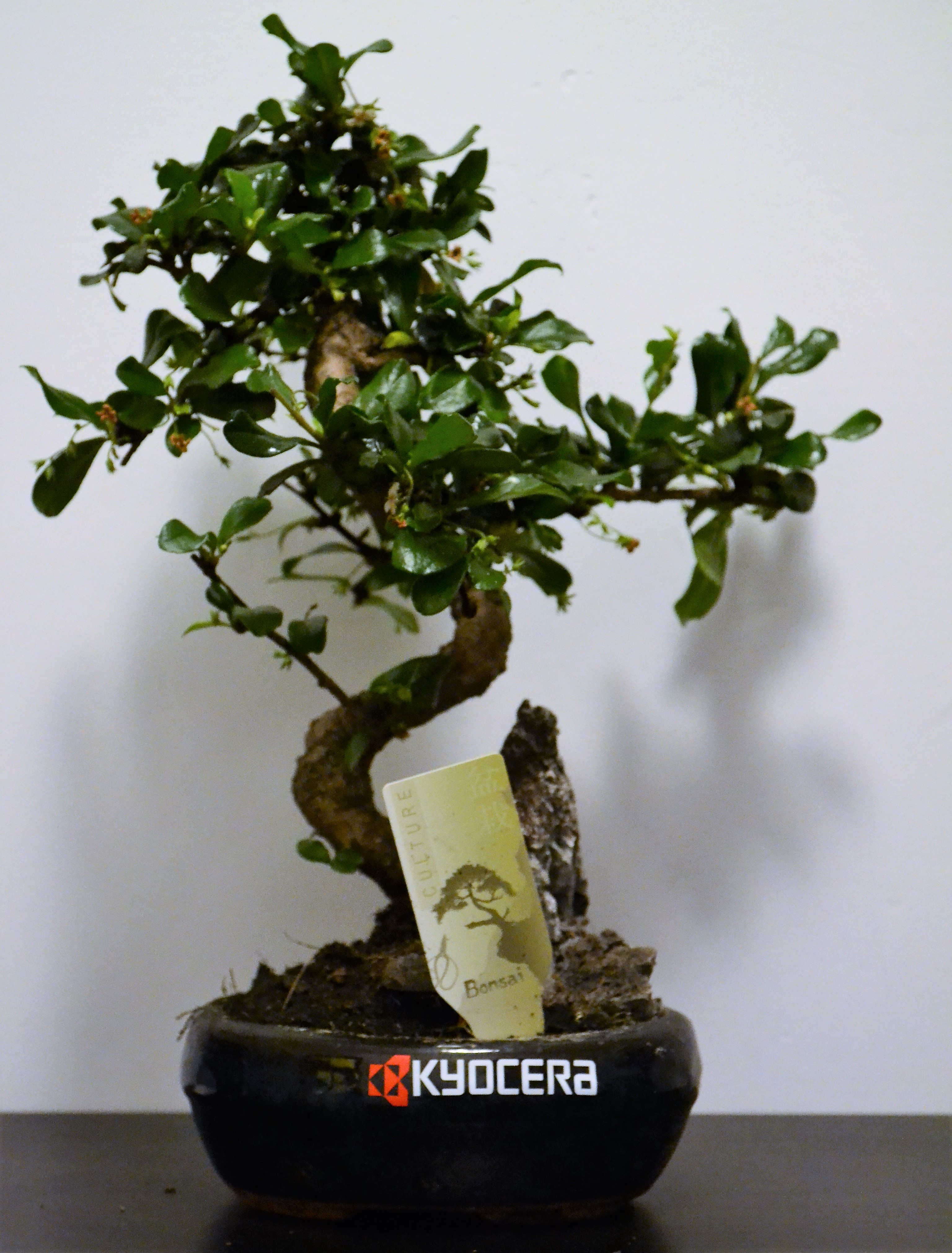 Bonsai in ghiveci personalizat