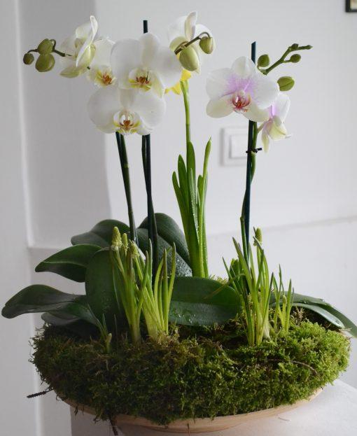 Aranjament cu orhidee phalenopsis.