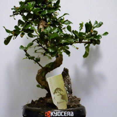 Bonsai in ghiveci personalizat